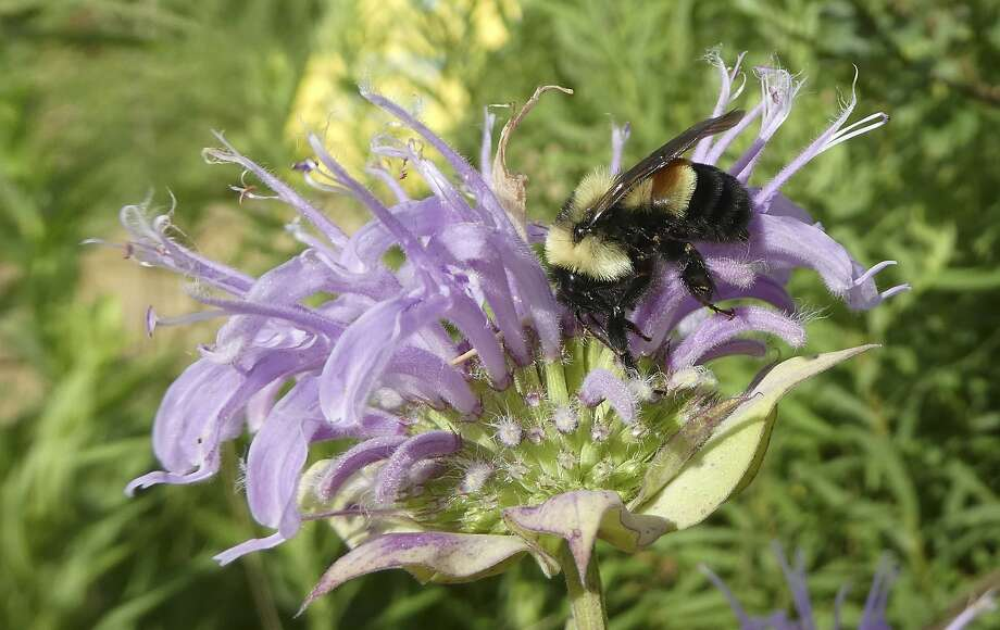 The rusty patched bumblebee's historic range and the number of observed colonies have plummeted by about 87 percent since the late 1990s. Photo: Sarah Foltz Jordan, Associated Press
