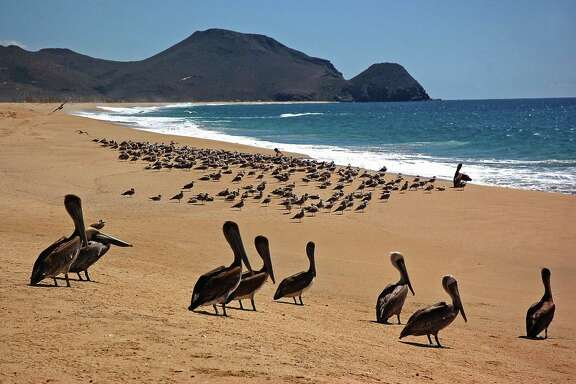 At La Cachora Beach, a rough-surf beach about a mile from downtown Todos Santos in Baja California Sur, pelicans and other seabirds enjoy an uncrowded shore in a 2010 file image.