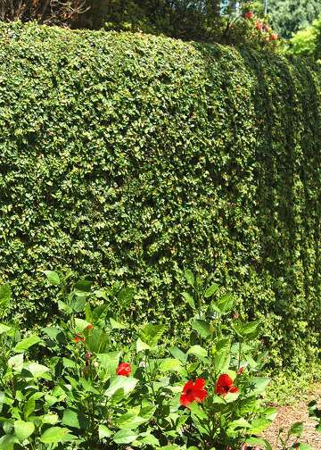 The Best Fast Growing Privacy Shrubs For S A Region Expressnews Com