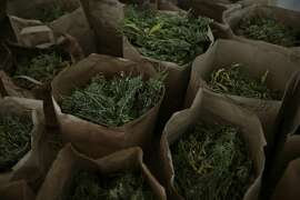 Broken down marijuana plants sit in bags before being trimmed at Tim Blake's farm Laytonville California, Friday, November 13, 2015. Ramin Rahimian/Special to The Chronicle