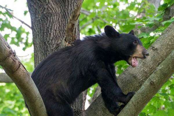 A black bear made a visit to Fairfield in 2015, and was captured by the state Department of Energy and Environmental Protection when it wandered into a heavily residential neighborhood.