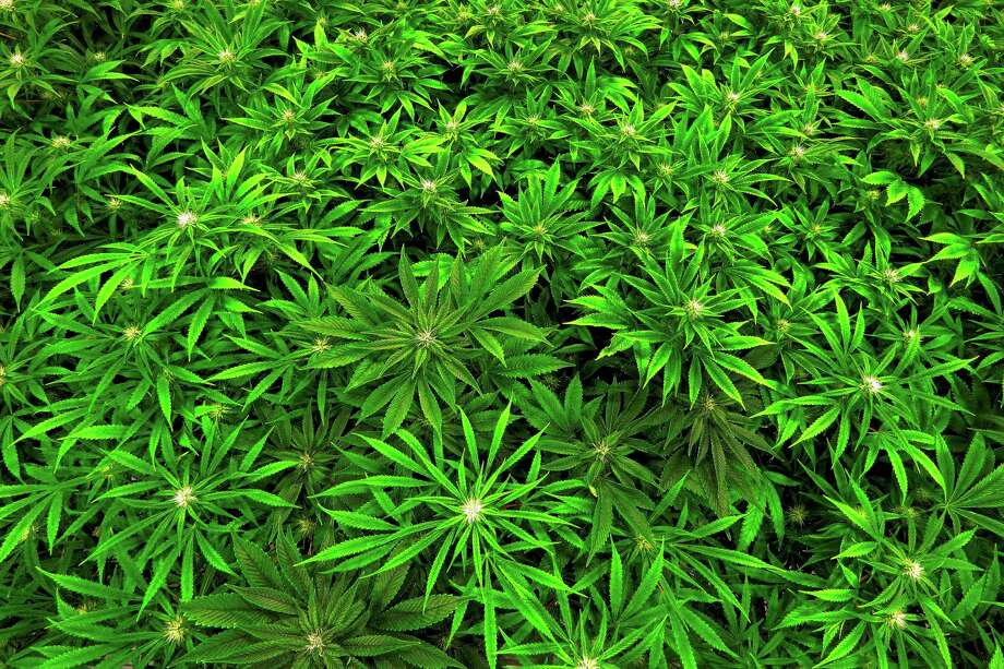 FILE - In this Sept. 15, 2015 file photo, marijuana grows at a medical marijuana cultivation center in Albion, Ill.  (AP Photo/Seth Perlman, File)  Photo: Seth Perlman / Copyright 2016 The Associated Press. All rights reserved. This material may not be published, broadcast, rewritten or redistribu