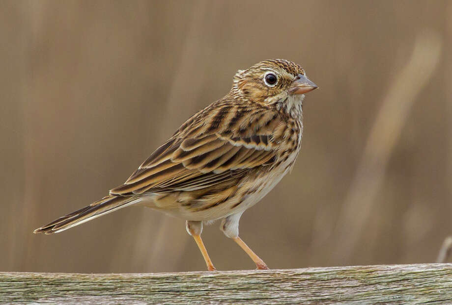 The vesper sparrow is named for its twilight song resembling tinkling vesper bells.  See it at the Attwater Prairie Chicken National Wildlife Refuge near Sealy. Photo: Kathy Adams Clark / Kathy Adams Clark/KAC Productions