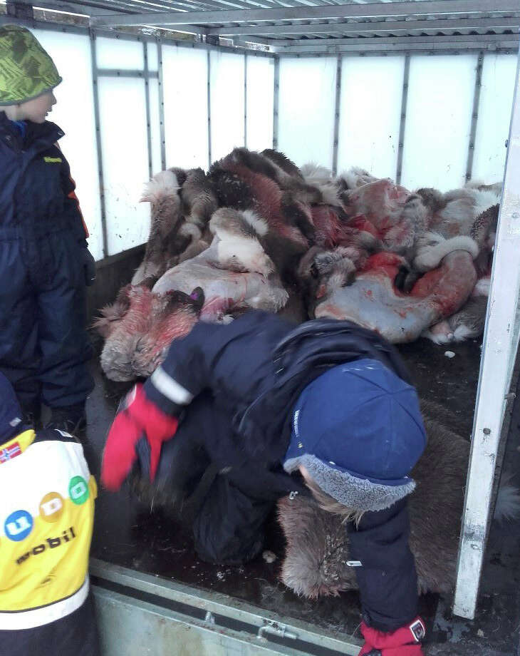 In this photo taken on Tuesday Jan. 10, 2017,  a child gets out of a truck filled with slaughtered reindeer in Henning, Norway.  A preschool in Arctic Norway is facing online criticism for taking 5-year-old children on an outing to view the slaughter and skinning of reindeer at a nearby farm. (Granstubben Barnehage via AP) Photo: HONS / Granstubben Kindergarten