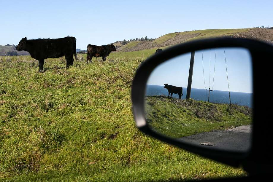 Cows enjoy the green rolling hills overlooking the Pacific at Coast Dairies, the newly designated California Coastal National Monument in Santa Cruz County. Photo: Amy Osborne, Special To The Chronicle
