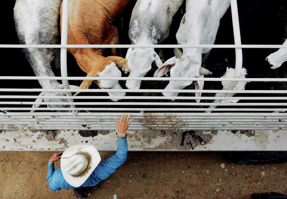 Cattle are inspected for ticks near Laredo. Experts are trying to pinpoint how the ticks ended up 110 miles north of the border. Photo: Eric Gay, STF / AP