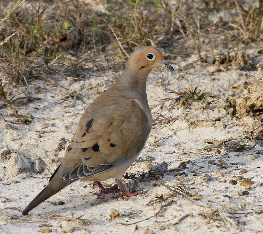 Because ground-feeding mourning doves can mistake a spent lead pellet for a seed and suffer lead's poisonous effects, many states mandate wingshooters use only non-toxic shot on state-owned or leased lands. Louisiana is the latest to propose such a requirement. Photo: Shannon Tompkins