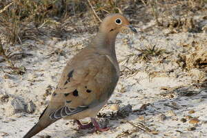 Because ground-feeding mourning doves can mistake a spent lead pellet for a seed and suffer lead's poisonous effects, many states mandate wingshooters use only non-toxic shot on state-owned or leased lands. Louisiana is the latest to propose such a requirement.