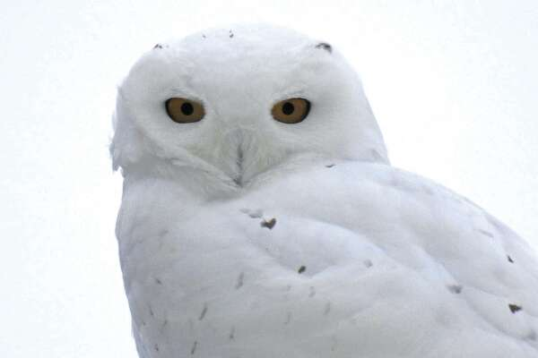 Cold, wintry weather in Huron County has attracted visitors from the Arctic, as seen in this shot of a snowy owl spotted near Pigeon early this week.