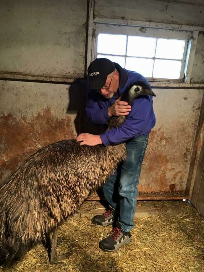 Louie, the 6-foot, 2-inch emu, getting a welcome home hug from his owner Al Smith after a week on the run. Photo: Contributed Photo
