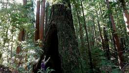 Andrew Vought, a board member with the Portola and Castle Rock foundation, on Wednesday Nov. 14, 2012, investigates a burned redwood along the Peters Creek Loop trail, in La Honda, Calif. where the Save the Redwoods League has agreed to purchase a parcel near the Peters Creek old-growth forest and establish a conservation easement on Boulder Creek Forest, a total of 359 acres of redwood forests in the heart of the Santa Cruz Mountains. The problem is, they have to raise $2 million for a down payment on the $8 million total price by the end of the year.