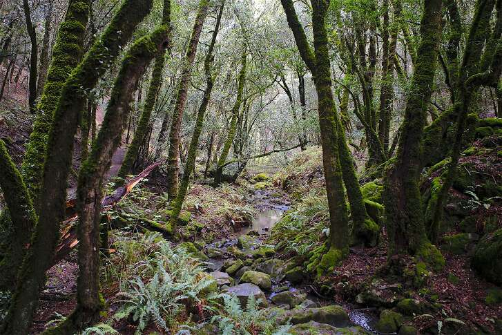 """Peters Creek starts as a trickle in Long Ridge Open Space Preserve and then feeds into Portola Redwoods State Park and the Bay Area's """"Lost World"""" en route to its confluence with Pescadero Creek."""