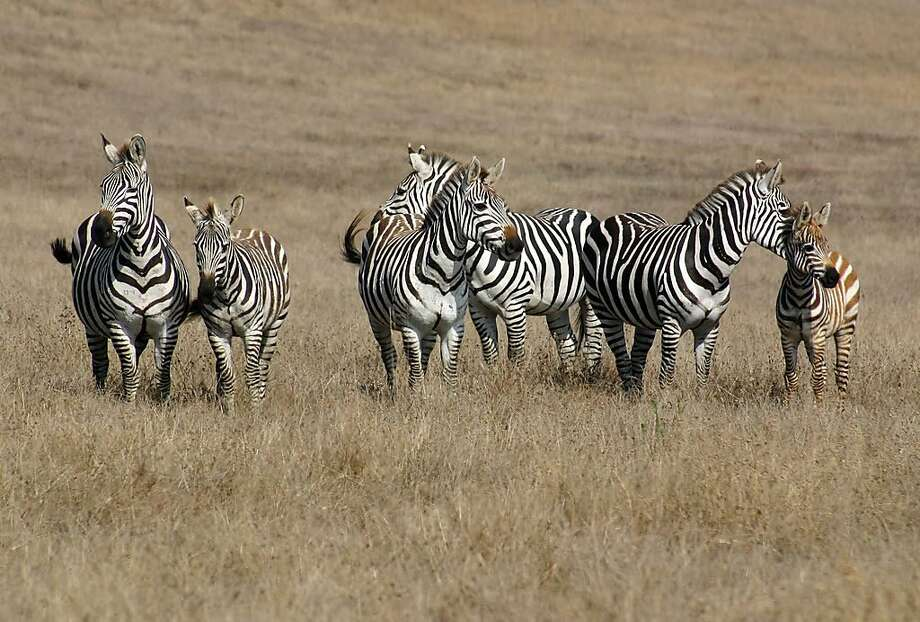 A dead zebra was found at a Northern California beach near the Hearst Castle Saturday, officials said. The zebra was among a herd (partly pictured here) that roam the grassy land around the San Simeon along Highway !. Photo: Speckledguar, Photo Bucket