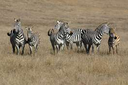 Hearst Castle's Zebra's along Highway 1
