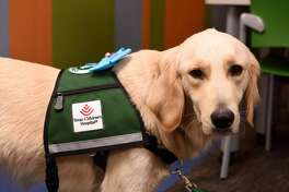 Elsa, Texas Children's Hospital's first full-time therapy dog, has been on the job since October 2016. The 2-year-old golden retriever visits with five to 10 patients each day to provide emotional support.