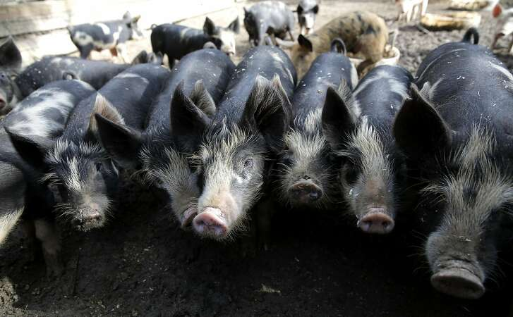 A group of months-old piglets stand lined up at Devil's Gulch Ranch in Nicasio, California, on Tuesday, Oct. 6, 2015.