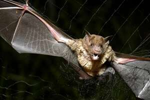A new study published in December in the  journal Acta Chiropterologica  and  first reported in New Scientist  finds that the bats have started to feed on human blood, something scientists didn't even think was possible.