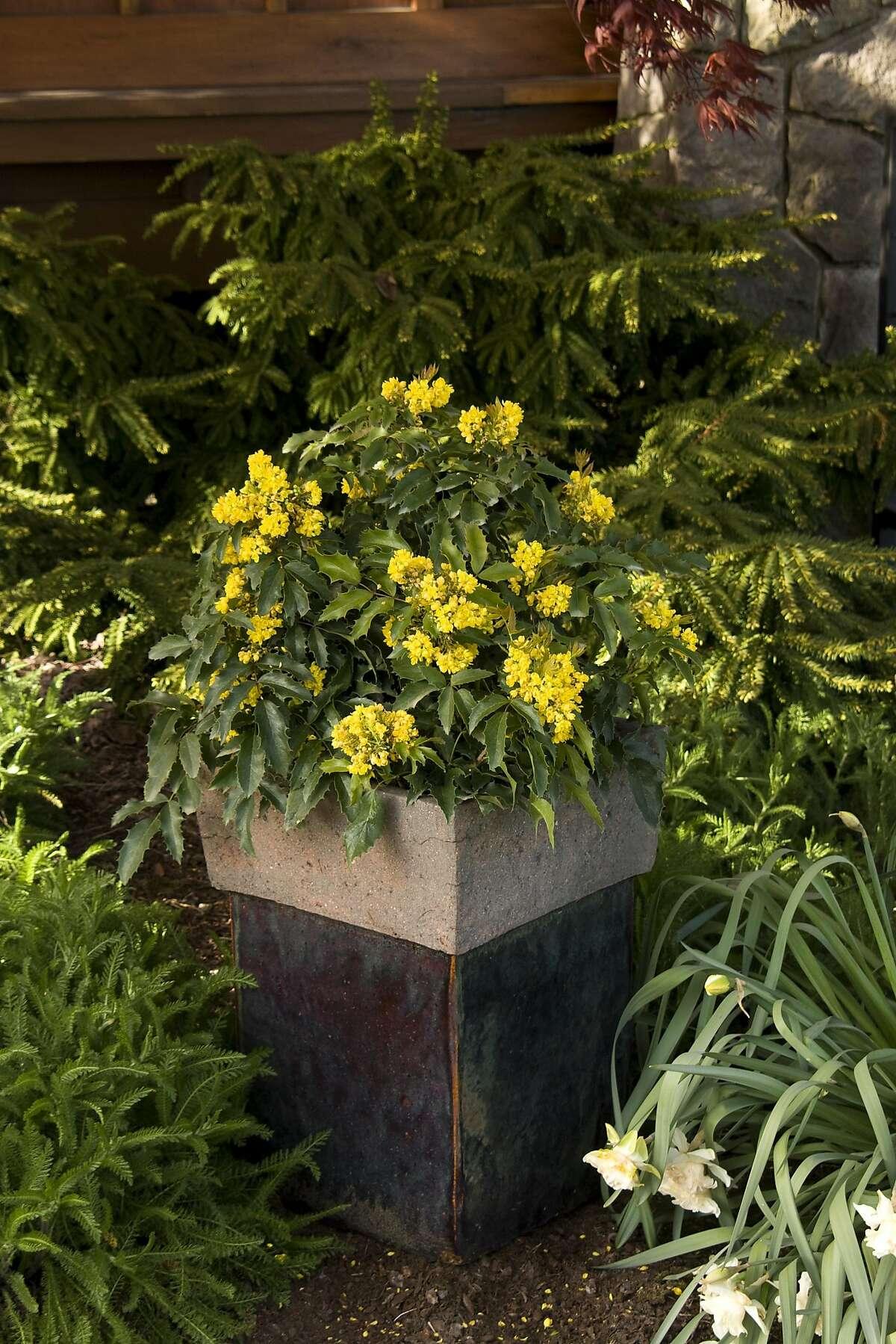 Mahonia aquifolium compactum. Credit: Doreen Wynja / Monrovia