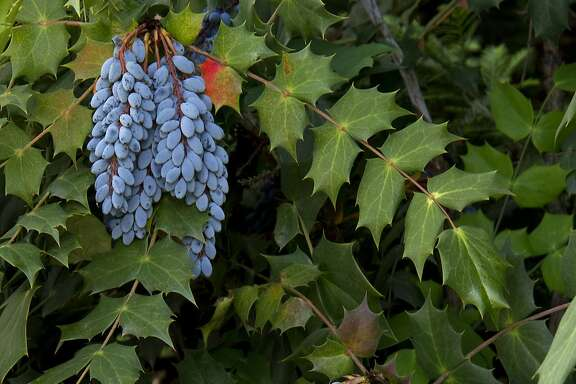 Mahonia japonica 'Bealei.'  Credit: Doreen Wynjafor / Monrovia