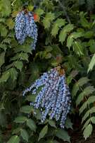 Mahonia japonica 'Bealei.'  Credit: Doreen Wynjafor / Monrovia