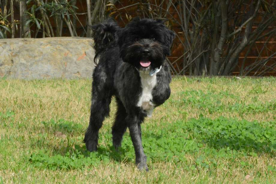 Jacob, a 2-year-old terrier mix, had one of his front legs amputated after a serious injury. He seems to be getting along fine without the leg though, judging by the video of him playing in the shelter's backyard. He can even hike his leg when nature's urge hits him.  Photo: Houston Humane Society