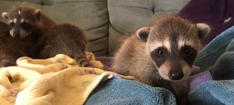 Here's a look at the raccoons when they were only four weeks old.WildCare and the Oakland Zoo teamed up to rescue five wild baby raccoons that were accidentally brought to California in a moving truck. Photo: WildCare/Oakland Zoo