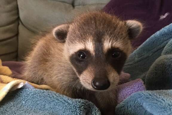Here's a look at the raccoon when they were only four weeks old.  WildCare and the Oakland Zoo teamed up to rescue five wild baby raccoons that were accidentally brought to California in a moving truck.