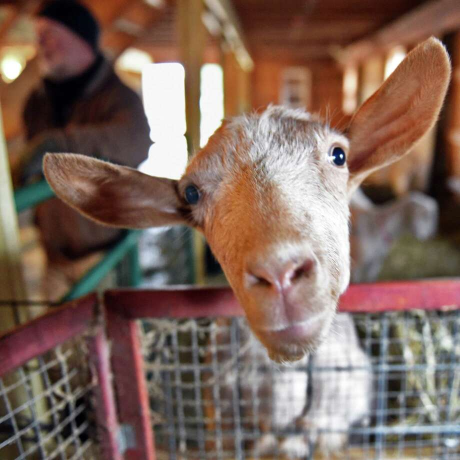 One of farmer Jay Lavery's dairy goats in his barn Tuesday Jan. 17, 2017 in Sharon Springs, NY. Lavery's video of him dancing in his barn with his animals went viral.  (John Carl D'Annibale / Times Union) Photo: John Carl D'Annibale / 20039429A