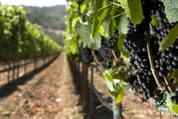 Pinot Noir grapes are seen on the organic Double L vineyard of Morgan Winery in the Santa Lucia Highlands on Tuesday, September 7, 2010.