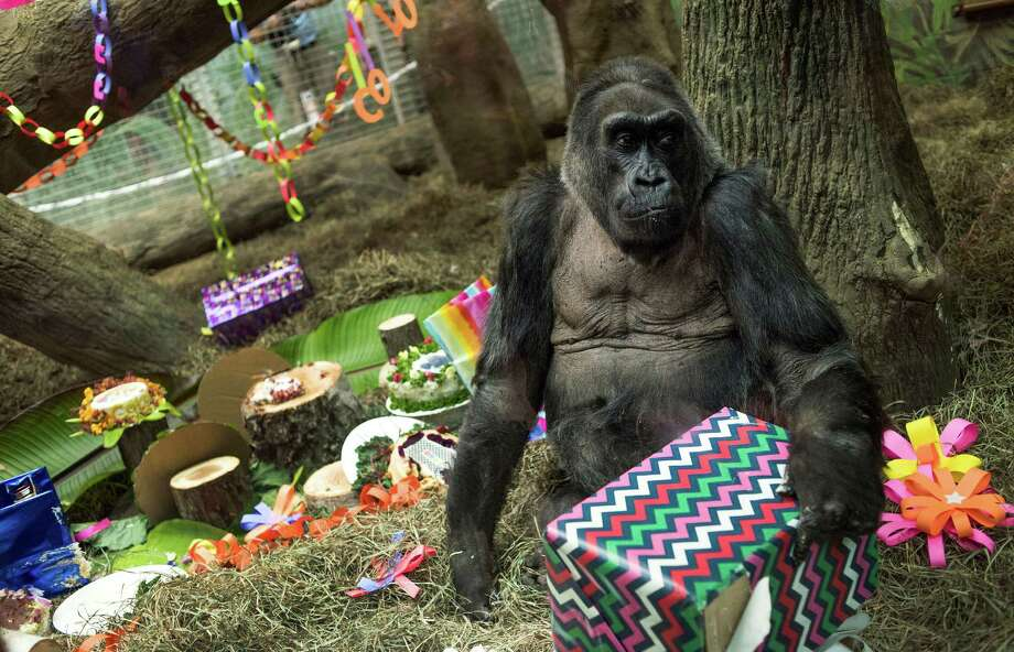 Colo, the world's first gorilla born in a zoo, opens a present in her enclosure during her 60th birthday party at the Columbus Zoo and Aquarium. Photo: Ty Wright, FRE / AP