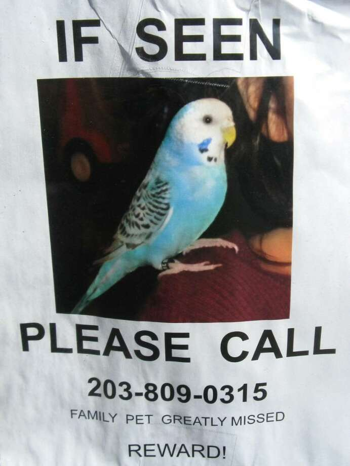 "The tale of ""Fluffy,"" a parakeet that has been missing from its Cos Cob home for nearly three weeks, reminded our Anne W. Semmes of when her parakeet,""Wing,"" flew away. Photo: Anne W. Semmes / Greenwich Citizen"