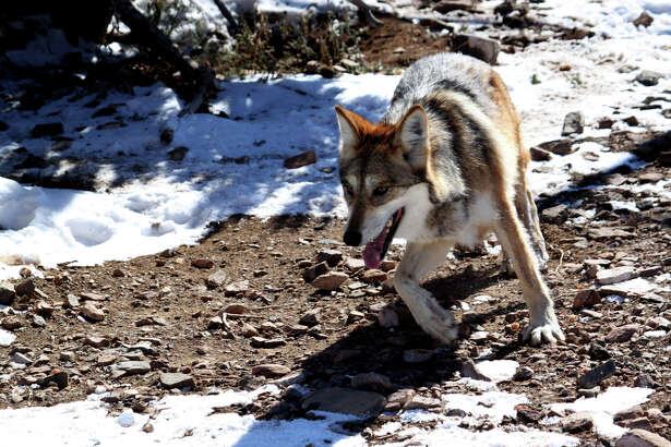The Endangered Species Act, created to help the rehabilitation of once-declining species like this gray wolf, is at risk for major downsizing by Republicans.
