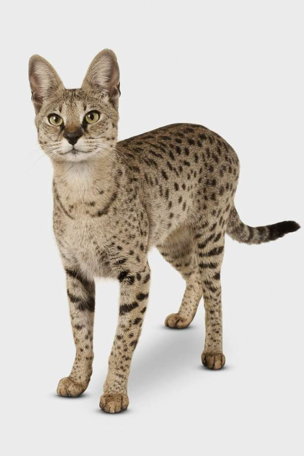WHAT IS A SAVANNAH CAT? James Van Duker of Cleveland wants the city to make this exotic cat, called a Savannah cat, legal to own so he can raise them and sell them to the general public.Click through the slideshow to learn more about this cross-bred animal.  Photo: Getty Images