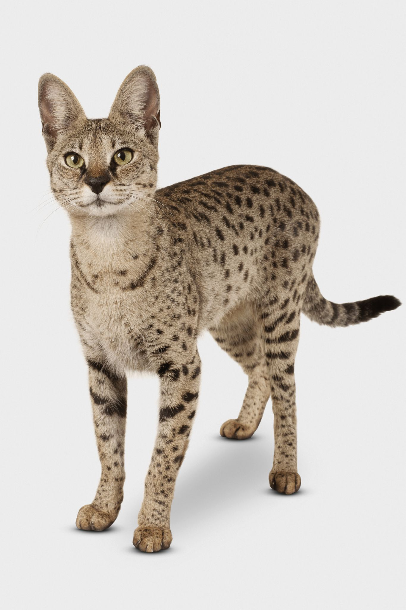 Facts about Savannah cats - Houston Chronicle