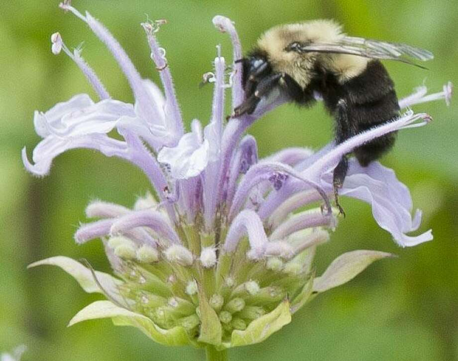 Karen Bussolini, a garden photographer, speaker, writer, NOFA-Accredited Organic Land Care Professional and eco-friendly garden coach, will present Planting the Year-Round Pollinator Garden, Jan. 28 at 2 p.m. at Kent Town Hall. Her photography is shown above. Photo: Karen Bussolini Contributed Photo / Contributed Photo / (c) Karen Bussolini 2016