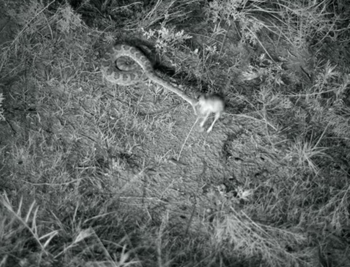 A screenshot from the video shows the rattlesnake nearly striking the kangaroo rat.