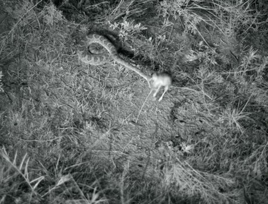 A screenshot from the video shows the rattlesnake nearly striking the kangaroo rat.  Photo: Higham Lab