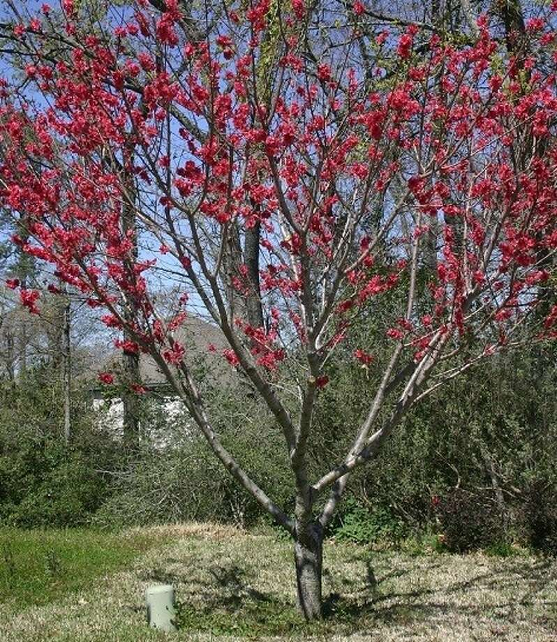 The Red Baron Peach tree requires less than 300 chill hours, has showy double red blossoms and produces large, juicy and richly flavored yellow freestone fruit.