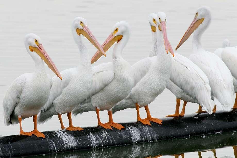 White pelicans on the main lake during the annual Christmas Bird Count at the Mitchell Lake Audubon Center, 10750 Pleasanton Road, on Dec. 20, 2015. Photo: Marvin Pfeiffer /San Antonio Express-News / Express-News 2015