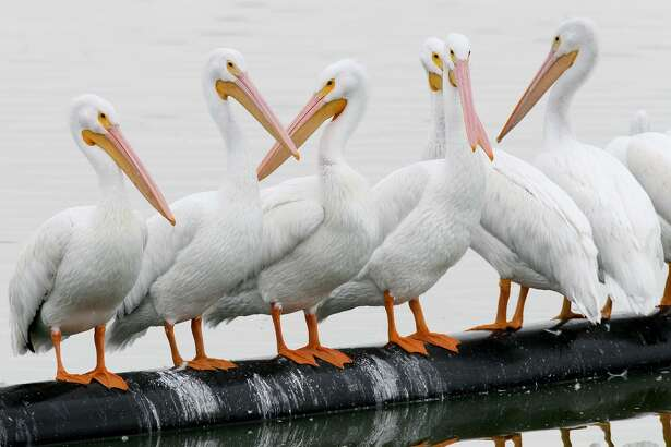 White pelicans on the main lake during the annual Christmas Bird Count at the Mitchell Lake Audubon Center, 10750 Pleasanton Road, on Dec. 20, 2015.