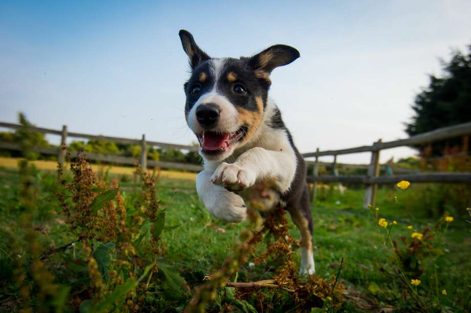File photo of a border collie puppy.  Photo: Brighton Dog Photography/Getty Images