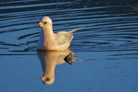 A Ross' gull from Siberia flew 9,000 miles and ended up last week at Pillar Point Harbor near Half Moon Bay