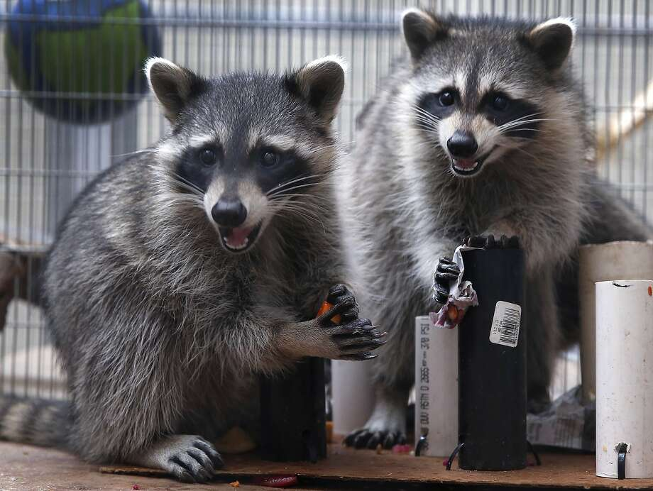 Young raccoons munch on treats while they are quarantined at the Oakland Zoo Veterinary Hospital. Photo: Paul Chinn, The Chronicle