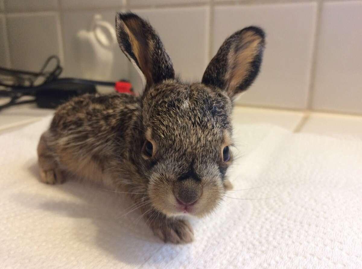 Harvest Home Animal Sanctuary took in the baby jackrabbit on Jan. 15, 2017.