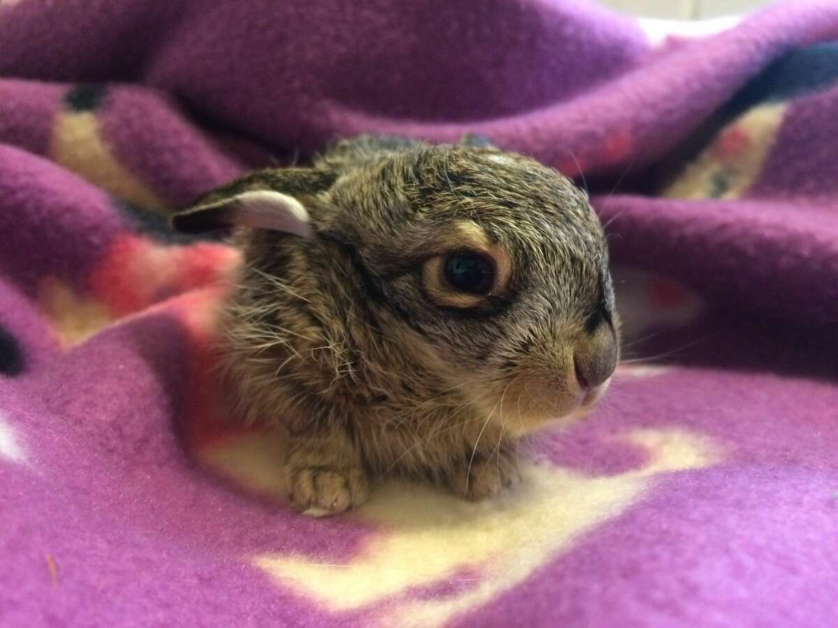 Baby jackrabbit rescued from the cold in Tracy - January 19, 2017 A baby jackrabbit was found shivering in the cold by a Tracy woman walking her dog. The jackrabbit was badly malnourished when it was found, but Wildcare nursed it back to health in its first baby animal rescue of the year. FULL STORY