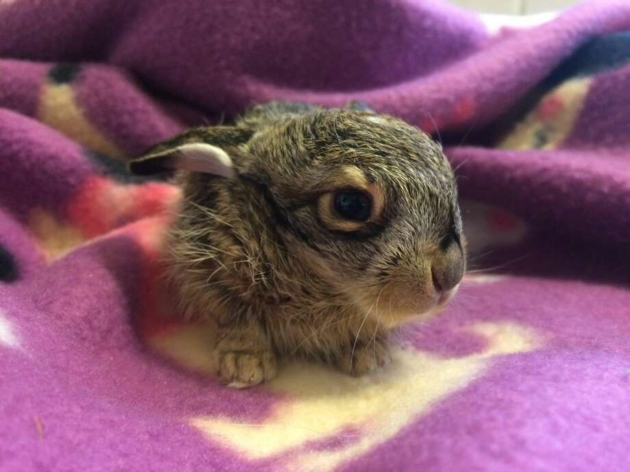 Harvest Home Animal Sanctuary took in the baby jackrabbit on Jan. 15, 2017. Photo: Christine Morrissey/Harvest Home Animal Sanctuary
