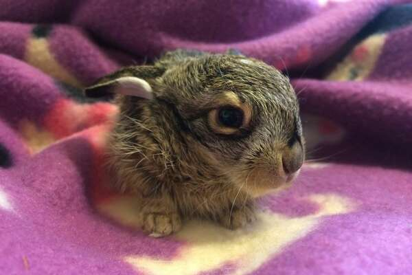 Harvest Home Animal Sanctuary took in the baby jackrabbit on Jan. 15, 2017.
