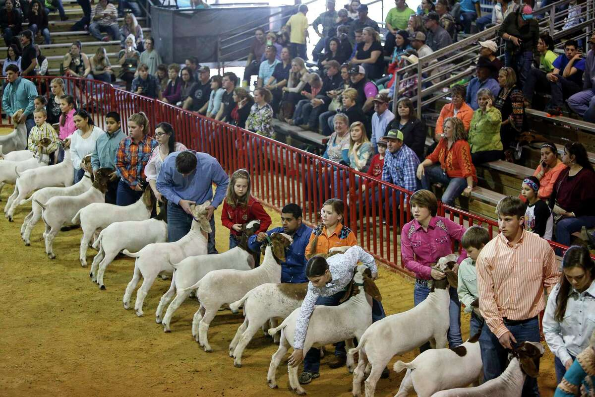 Young competitors will show cattle, goats, sheep and pigs during the San Antonio Livestock Show & Rodeo.