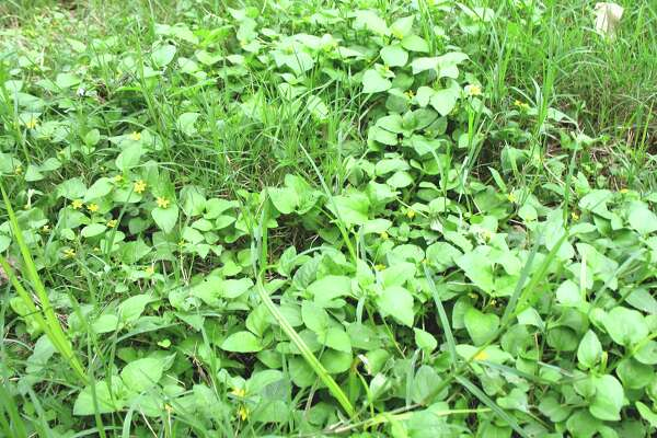 Horseherb is a native deciduous herb that dies to the ground, then comes back strongly each spring.