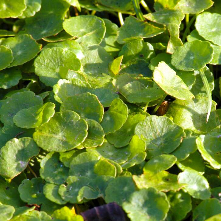 """Two plants are commonly called """"dollar weed"""" in Texas. One is called that in error, actually being dichondra. True dollar weed, by comparison, has silver-dollar-size leaves that are ultimately glossy."""